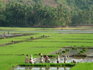 GREEN GOA: Goenkarponn does not mean gated colonies and high rise buildings, but lush green paddy fields with women in colourful raincoats harvesting paddy.