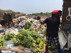 THRASHED: FDA officials destroyed the confiscated artificially ripened bananas at the Mapusa Municipal waste disposal site
