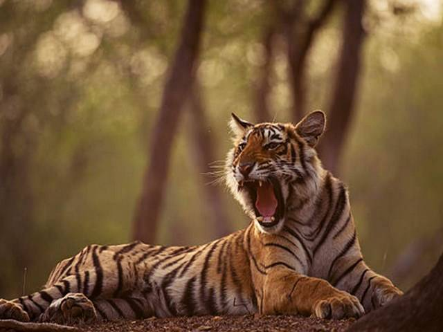 Mhadei to get Tiger Reserve Tag?