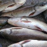 NO 'PERMISSIBLE LIMIT' FOR Formalin in fish